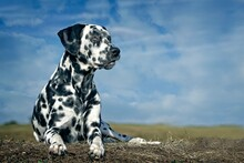 Dalmatian Sits In The Meadow Against A Blue Sky.