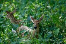 Deer Baby Hiding In Undergrow