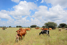 Herd Of Free-range Cattle Grazing In Grassland On A Rural Farm, South Africa.
