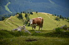 Cow On The Alpine Meadow In The Dolomites. Agriculture In The Mountains. Beautiful Landscape With Lush Green Meadows And Large Forests