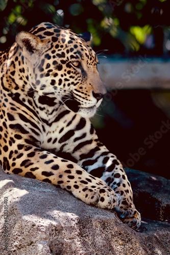 Photo Image of a beautiful jaguar