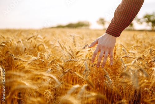 Tela Man walking in wheat during sunset and touching harvest
