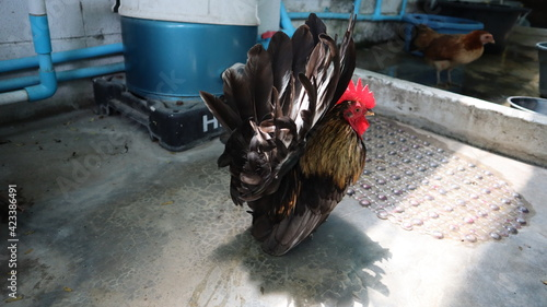 Foto Bantam chickens Black fur with yellow hair on the neck Standing