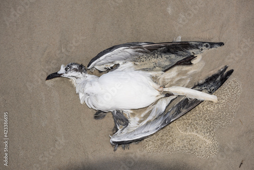 Obraz Laughing Gull in Repose - fototapety do salonu