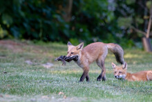 Red Fox Kit Walking With Lunch While One Of Its Siblings Looks On From The Grass