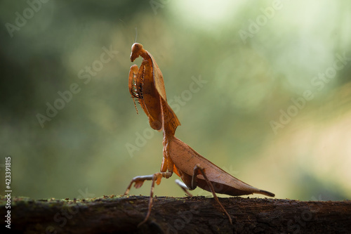 Slika na platnu deroplatys truncata and deroplatys lobata in nature