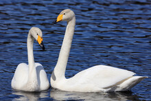 A Pair Of Swans That Overwinter In Japan