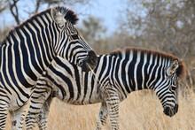 Burchell's Zebras (Equus Quagga Burchellii) Munching On Some Dry Grass In The Woodlands Of Kruger National Park, South Africa