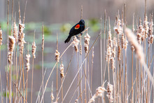 Red-winged Blackbird Perched In Cattails Near Lake In Park