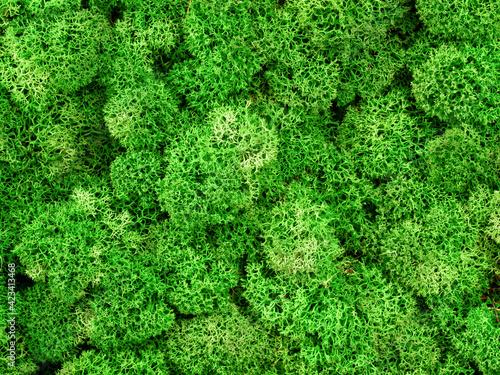 Fototapeta Moss texture background, macro view of green reindeer moss grows in forest marsh