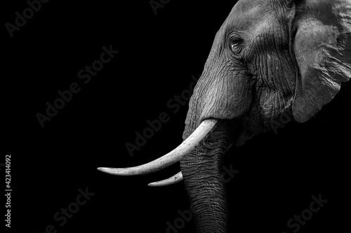Elephant animal , isolated black wildlife - fototapety na wymiar