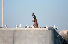 Cormorano In Posa Sull'ormeggio Del Porto Di Catania, Con Un Gruppo Di Gabbiani Attorno Appollaiati Sul Molo