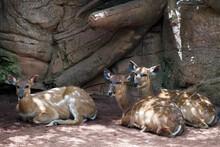 Sitatunga Antelope At The Bioparc In Fuengirola