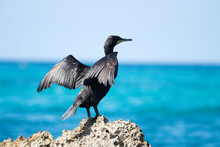 Beautiful Cormorant Stands On A Rock And Spreads Its Wings.