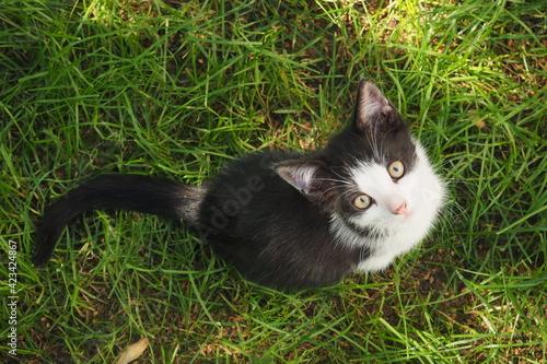 Obraz Młody czarno-biały kotek patrzący w górę na tle zielonej trawy - fototapety do salonu