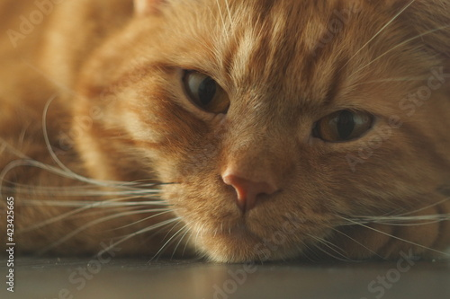Fototapeta Portret rudego puchatego kota leżącego na buźce obraz