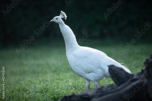 Fototapeta white bird, peacock walks in the park obraz