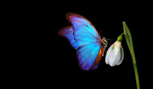 Bright Blue Tropical Morpho Butterfly On A White Snowdrop Flower. Concept Of Spring