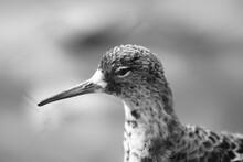 Black And White Bird Redshank