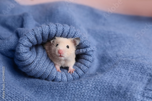 Obraz Cute little hamster in sleeve of blue knitted sweater, space for text - fototapety do salonu