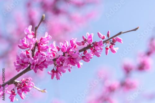 Billede på lærred pink cherry blossoms