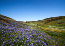 Field Of Wild Flowers Mountain Landscape In Oroville California ;  North Table Mountain Ecological Reserve; Northern California; Wild Flowers