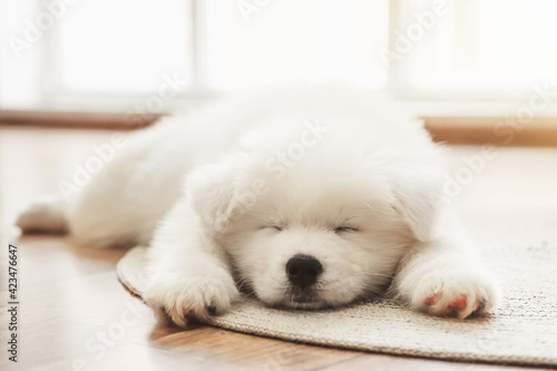 Obraz na plátně Cute Samoyed puppy lying on floor at home