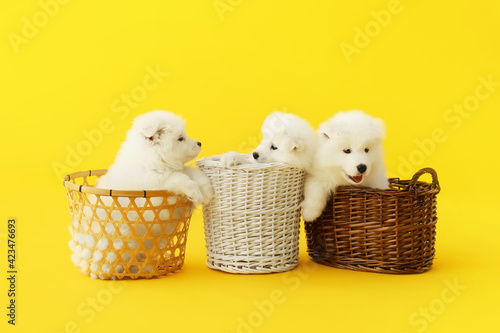 Fotografie, Tablou Cute Samoyed puppies in baskets on color background