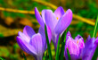 kwitnące wiosenne krokusy w zbliżeniu