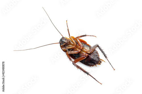 Photographie Cockroach dead on white background