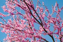 Eastern Redbud Tree (Cercis Canadensis). Spring Time.