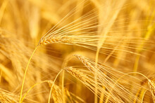 Wheat In The Field On Blurred Background Close-up