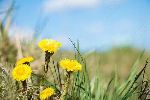 Obraz na plátne Nature spring landscape with yellow coltsfoot flowers