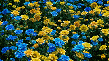 Multicolored Flower Background. Floral Wallpaper With Blue And Yellow Roses. 3D Render