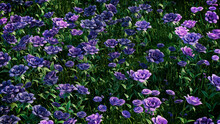 Multicolored Flower Background. Floral Wallpaper With Purple And Violet Roses. 3D Render
