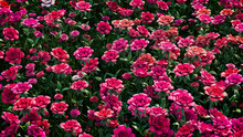 Multicolored Flower Background. Floral Wallpaper With Red And Pink Roses. 3D Render