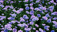 Multicolored Flower Background. Floral Wallpaper With Lilac Roses. 3D Render