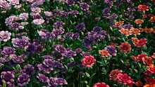 Multicolored Flower Background. Floral Wallpaper With Violet, Purple And Orange Roses. 3D Render