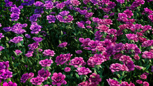 Multicolored Flower Background. Floral Wallpaper With Pink And Purple Roses. 3D Render