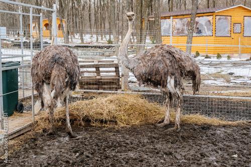 Fotografija Ostriches on a farm, close up view