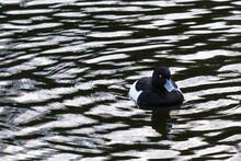 Tufted Duck (Aythya Fuligula), Victoria Park, Belfast, Northern Ireland, UK