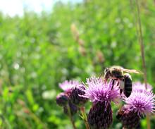 Honey Bee Sucks Nectar From A Flower