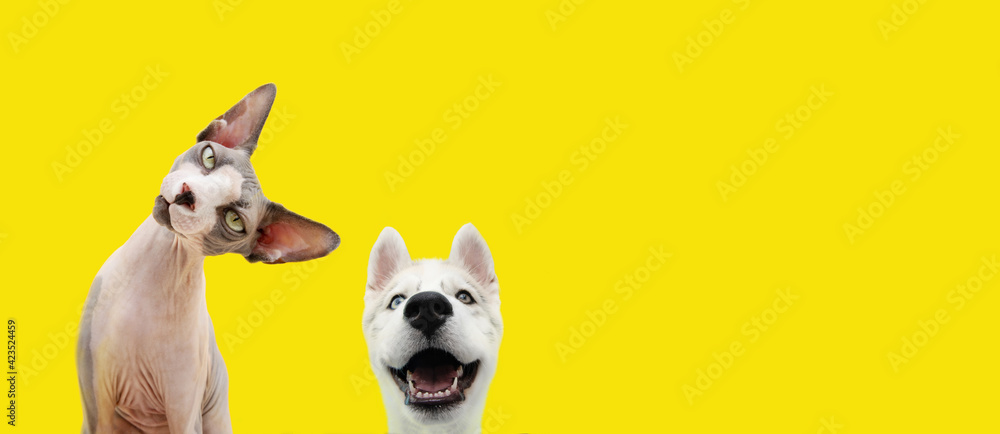 Fototapeta Banner two pets listening and happy  expression. husky puppy dog and curious sphynx cat. Isolated colored yellow background.