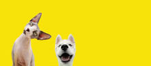 Banner Two Pets Listening And Happy  Expression. Husky Puppy Dog And Curious Sphynx Cat. Isolated Colored Yellow Background.
