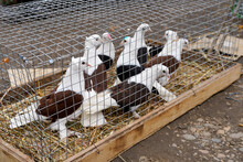 Pigeons Sit In A Cage In The Market