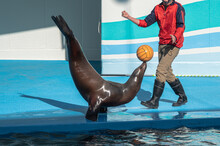 Sea Lion Playing Ball At Performance Show