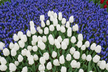 Tulip And Muscari, Grape Hyacinth