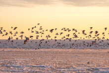A Flock Of Oystercatchers And Bar-tailed Godwits On The Beach On A Winter Day. Een Zwerm Scholeksters En Rosse Grutto's Op Een Winterse Dag Op Het Strand.