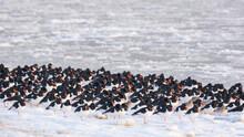 A Flock Of Oystercatchers On A Winter Day At The Beach. Een Zwerm Scholeksters Op Een Winterse Dag Op Het Strand.