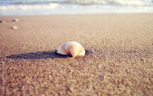Fototapeta mollusk sand gastropod invertebrate shell conch beach sea tropical ocean cockle